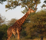 African Wildlife Safari Kruger Park South Africa